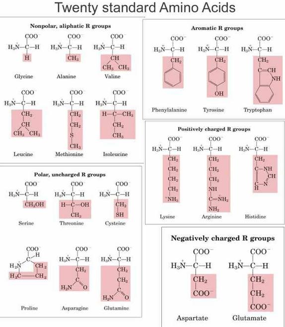 amino acids twenty